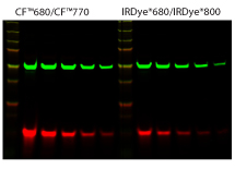 Figure 6. Near-IR CF™680 and CF™770 for two-color Western blotting. Two-fold dilutions of HeLa cell lysate were run on an acrylamde gel, transferred to a nitrocellulose membrane and probed with mouse alpha-tubulin and rabbit COX IV primary antibodies followed by goat antimouse CF™770 or IRDye® 800 (green) and goat anti-rabbit CF™680 or IRDye®680 (red) at the same final concentrations. After probing, membranes were dried and scanned using an Odyssey® infrared imaging system (LI-Cor® Biosciences). Quantitation of the bands showed approximately a 3.5-fold higher fluorescence intensity of CF dyes compared to the respective IRDye® secondary antibodies (LI-Cor®).