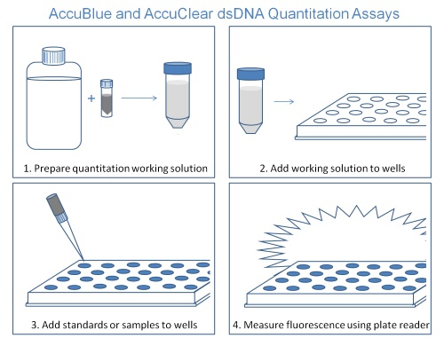 AccuBlue and AccuClear assays can be used to quantitate a large number of samples in four easy steps.