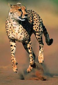 Cheetah_taq-1