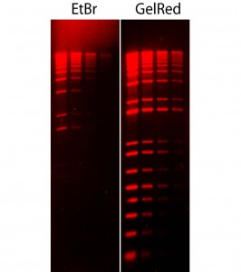 Comparison of ethidium bromide (EtBr) and GelRed in precast gel staining using 1% agarose gel in TBE buffer. Two-fold serial dilutions of 1 kb Plus DNA Ladder (Invitrogen) were loaded in the amounts of 200 ng, 100 ng, 50 ng and 25 ng from left to right. Gels were imaged using 300 nm transilluminator and photographed with an EtBr filter.