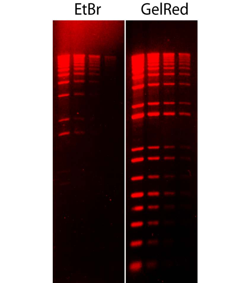 Gelred Amp Gelgreen Nucleic Acid Gel Stains Biotium