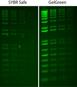 Comparison of GelGreen and SYBR Safe in post gel staining using 1% agarose gel in TBE buffer. Two-fold serial dilutions of 1 kb Plus DNA Ladder (Invitrogen) were loaded onto each gel in 4 lanes in the amounts of 200 ng, 100 ng, 50 ng and 25 ng, respectively, from left to right. Gels were imaged using 254-nm transilluminator and photographed with a SYBR filter.