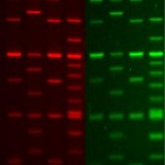 Ready-to-Use 100 bp DNA Ladder