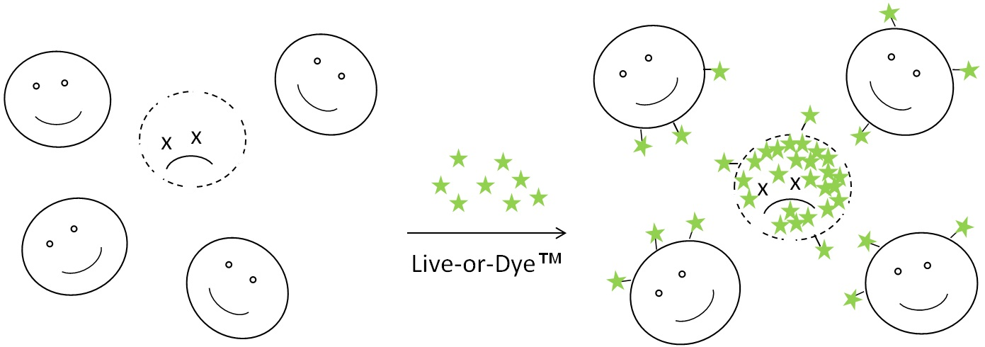 Figure 1. Principle of live/dead cell discrimination using Live-or-Dye ...: biotium.com/technology/live-dye-fixable-viability-stains-flow...