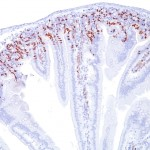 Formalin-fixed, paraffin-embedded Mouse Small Intestine stained with BrdU Monoclonal Antibody (BRD469).