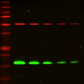 Near-infrared western blotting with CF680 goat anti-rabbit and CF770 goat anti-mouse secondary antibodies.