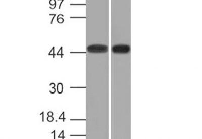 Monoclonal anti CD33 (C33/69)
