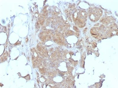 Monoclonal anti Major Vault Protein (MVP) (1032)