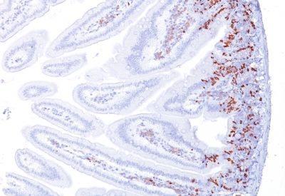 Monoclonal anti BrdU (Bromodeoxyuridine) (BRD494)