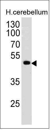 Monoclonal anti PAX6 (PAX6/498)