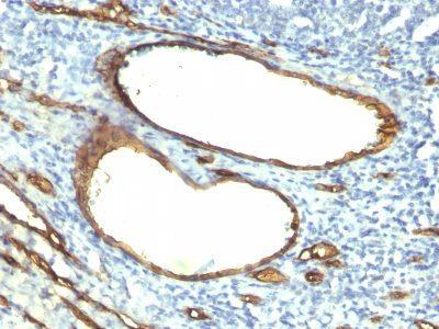 Monoclonal anti CD34 (HPCA1/763)