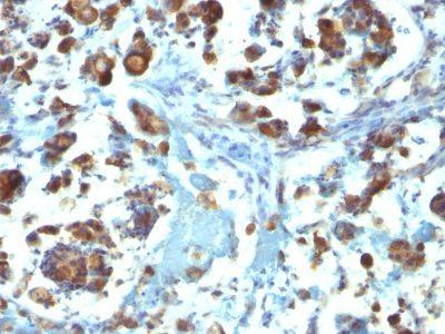 Monoclonal anti Mucin 3 (M3.1)