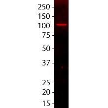 CF640R nucleolin 364-5 western