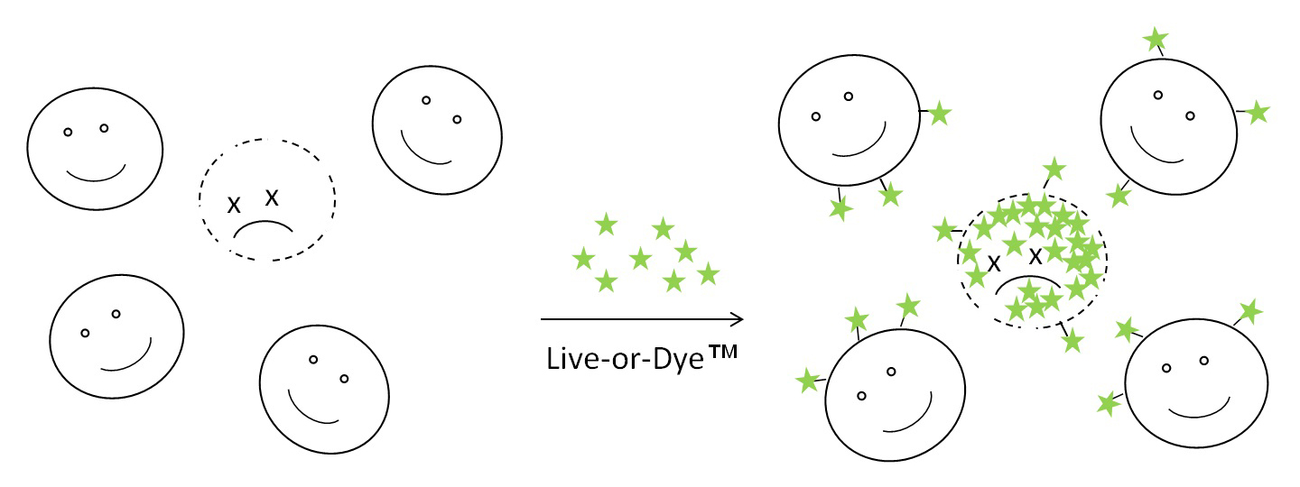 Live-or-Dye fixable viability stains