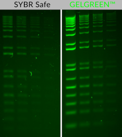 Comparison of GelGreen and SYBR Safe in post-electrophoresis staining of 1% agarose/TBE gels. Two-fold serial dilutions (200 ng, 100 ng, 50 ng and 25 ng) of 1 kb Plus DNA Ladder (Invitrogen). Gels were imaged using 254-nm UV transilluminator and photographed with a SYBR filter.
