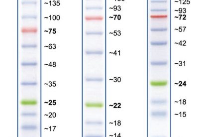 Apparent molecular weights of bands in Peacock Plus Prestained Protein Marker on various SDS-PAGE gels.