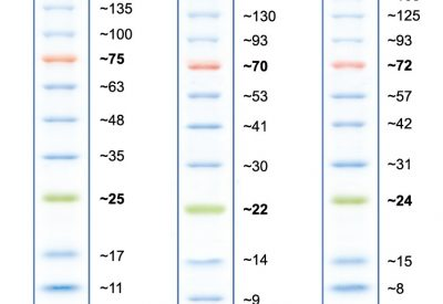 Apparent molecular weights of bands in Peacock Prestained Protein Marker on various SDS-PAGE gels.