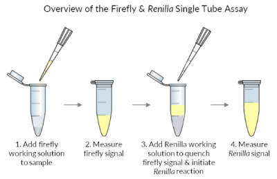 Firefly and Renilla luciferase assay kits