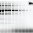 In-gel fluorescence image of bovine serum albumin (BSA) labeled with the CF®680T total protein prestaining kit on SDS-PAGE gel. Protein content for each lane ranges from 10 ug to 1 ng, from left to right. The bands above and below the major bands are from impurity proteins in the BSA sample. The excess dye runs to the very bottom of the gel. Inset: part of the image with enhanced brightness to visualize the bands with 10, 5, and 1 ng of BSA.