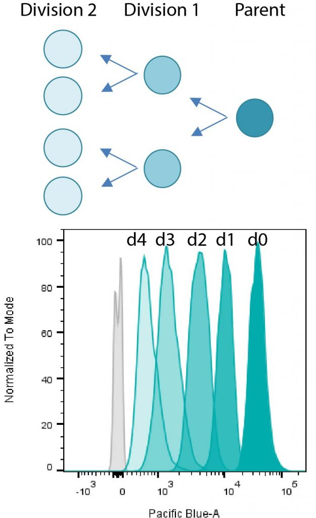 Principal of dye dilution assays for cell proliferation & Cell division tracking in Jurkat cells