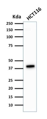 Western Blot Analysis of HCT116 Cell lysate using Cytokeratin 18 Mouse Monoclonal Antibody (DA7).