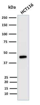 Western Blot Analysis of human HCT116 Cell lysate using Cytokeratin 18 Mouse Monoclonal Antibody (KRT18/835).