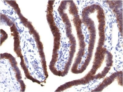 Formalin-fixed paraffin-embedded human Fallopian Tube stained with EpCAM Mouse Monoclonal Antibody (EGP40/1373).