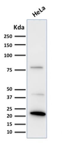Western Blot Analysis of human HeLa Cell lysate using Ferritin Light Chain Monoclonal Antibody (FTL/1388).