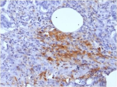 Formalin-fixed paraffin-embedded Human Pancreas stained with Ferritin Light Chain Monoclonal Antibody (FTL/1389).