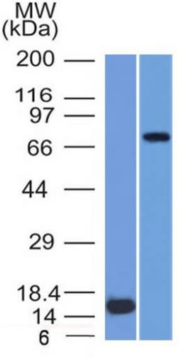 Western Blot  of (1) Recombinant MMP2 protein and (2) U87 Cell Lysate using MMP2 Monoclonal Antibody (MMP2/1501).
