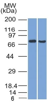 Western Blot (1) HeLa and (2) HepG2 Cell lysate using TCF4 Mouse Monoclonal Antibody (TCF4/1705).