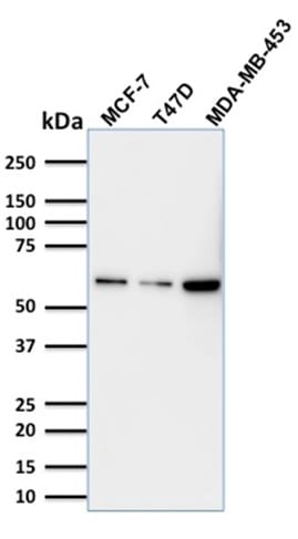 Western Blot Analysis MCF-7; T47D and MDA-MB453 Cell lysate using p63 Mouse Monoclonal Antibody (TP63/1786).