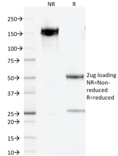 SDS-PAGE Analysis Purified PAX5 Mouse Monoclonal Antibody (PCRP-PAX5-1B7).Confirmation of Purity and Integrity of Antibody.