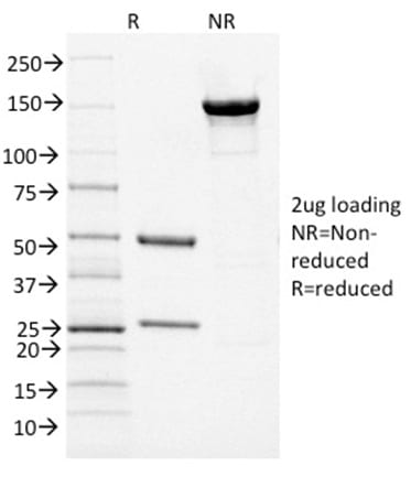 SDS-PAGE Analysis Purified PAX5 Mouse Monoclonal Antibody (PCRP-PAX5-1B1).Confirmation of Purity and Integrity of Antibody.