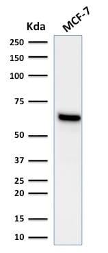 Western Blot Analysis of human MCF-7 cell lysate using Estrogen Receptor alpha Mouse Monoclonal Antibody (ESR1/1935).