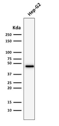 Western Blot Analysis of Hep-G2 Cell lysate using CK19 Mouse Recombinant Monoclonal Antibody (rKRT19/800).