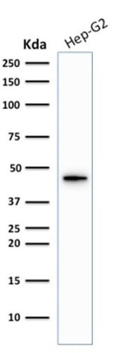 Western Blot Analysis of Hep-G2 Cell lysate using Cytokeratin 19 Rabbit Recombinant Monoclonal Antibody (KRT19/1959R).
