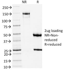 SDS-PAGE Analysis Purified TLE1 Mouse Monoclonal Antibody (TLE1/2051).Confirmation of Purity and Integrity of Antibody.