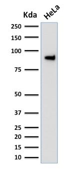 Western Blot Analysis of human HeLa Cell Lysate using TLE1 Mouse Monoclonal Antibody (TLE1/2051).