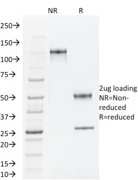 SDS-PAGE Analysis Purified TLE1 Mouse Monoclonal Antibody (TLE1/2062).Confirmation of Purity and Integrity of Antibody.