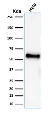Western blot analysis of HeLa cell lysate using p53 Mouse Recombinant Monoclonal Antibody (rBP53-12).