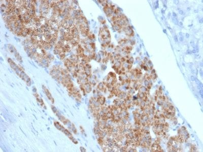 Formalin-fixed paraffin-embedded human Adrenal Gland stained with StAR Mouse Monoclonal Antibody (STAR/2140).