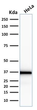 Western Blot Analysis of human HeLa Cell lysate using Emerin Mouse Monoclonal Antibody (EMD/2167).