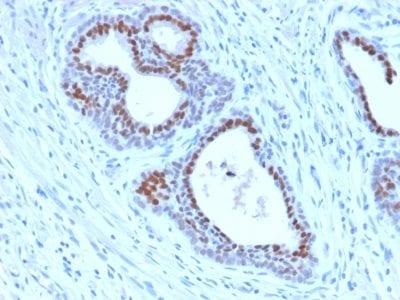 Formalin-fixed paraffin-embedded human Tonsil stained with FOXA1 Rabbit Recombinant Monoclonal Antibody (FOXA1/2230R).