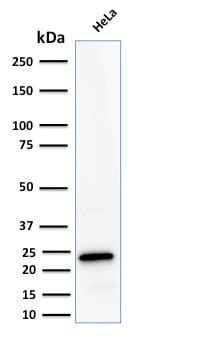 Western Blot Analysis of human HeLa Cell lysate using Ferritin LC Rabbit Recombinant Monoclonal Antibody (FTL/2338R).
