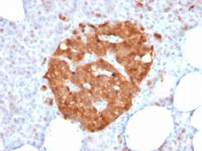 Formalin-fixed paraffin-embedded human Pancreas stained with GPN1 Mouse Monoclonal Antibody (GPN1/2350).