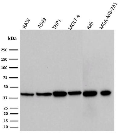 Western blot analysis of RAW, A549, THP1, MOLT-4, Raji, and MDA-MB-231 cell lysate using PD-L1 Mouse Monoclonal Antibody (PDL1/2746).