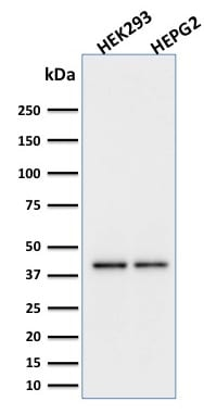Western blot analysis of HEK293 and HepG2 Cell Lysate using PD-L1 Mouse Monoclonal Antibody (PDL1/2746).