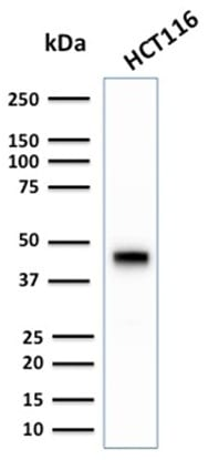 Western Blot Analysis of human HCT116 Cell lysate using CK18 Rabbit Recombinant Monoclonal Antibody (KRT18/2808R).